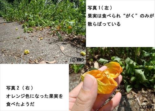 20110830_hozuki
