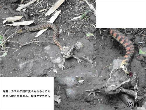 20110620_hebitokaeru